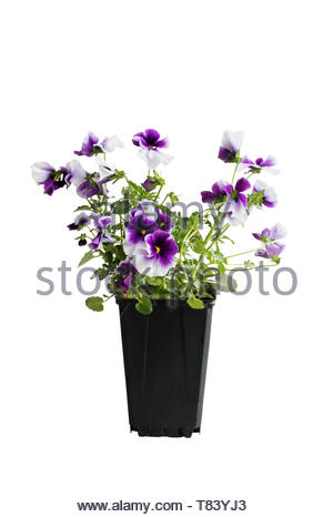 Purple and white potted Pansy, also know as Viola tricolor variety hortensis, isolated over a white background. Clipping path included. Spring and Aut - Stock Photo