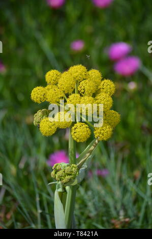 Beautiful Round And Yellow Flowers Near St. George Fort Of Octaves In Cascais. Photograph of Street, Nature, architecture, history, Geology. April 15, - Stock Photo