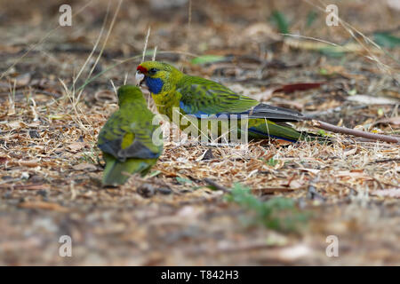 Green Rosella - Platycercus caledonicus or Tasmanian rosella is a species of parrot native to Tasmania and Bass Strait islands. - Stock Photo