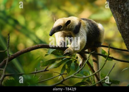 Northern Tamandua - Tamandua mexicana species of anteater, tropical and subtropical forests from southern Mexico, Central America to the edge of the n - Stock Photo