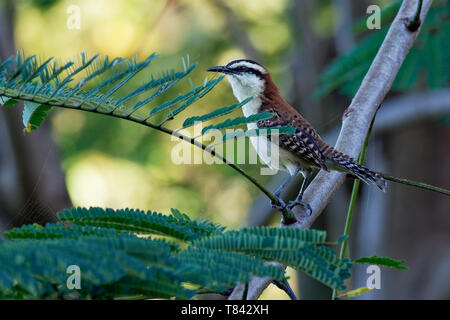 Rufous-naped wren - Campylorhynchus rufinucha is songbird of the family Troglodytidae, the wrens. It is a resident breeding species from central-south - Stock Photo