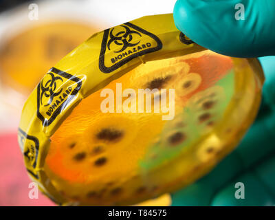 Microbiology Experiment, Scientist viewing microorganisms in bacterial cultures growing in petri dishes in the laboratory, close up of hand - Stock Photo