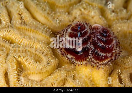 Underwater view of pair of christmas tree worms (spirobranchus giganteous),  close up, Eleuthera, Bahamas - Stock Photo