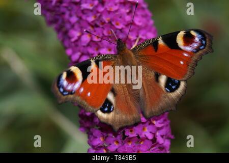 peacock Butterfly on Buddleja davidii - Stock Photo
