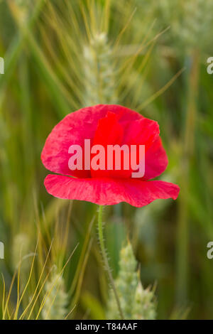 Red poppy in the cornfield. Close-up of single poppy in the in the green wheat field - Stock Photo