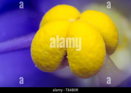 Blue flower with yellow stamen macro - Stock Photo