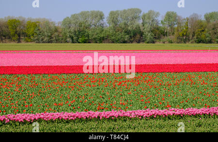 Tulips in rows of colour growing in flower fields in Lisse, South Holland, Netherlands. The flowers give the landscape a stunning striped effect. - Stock Photo