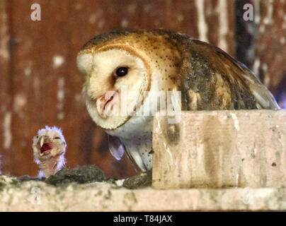 Elkton, OREGON, USA. 10th May, 2019. An adult barn owl and its newly hatched owlet perch in nest box in barn on a farm near Elkton in rural western Oregon. According to barnowltrust.org the female barn owl does all the incubation and the male provides all the food until the young are around 3 weeks old. Credit: Robin Loznak/ZUMA Wire/Alamy Live News - Stock Photo