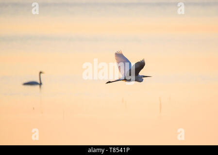 Selective focus photo.  The great egret (Ardea alba). Also known as common egret and large egret, flying over lake before sunset. - Stock Photo