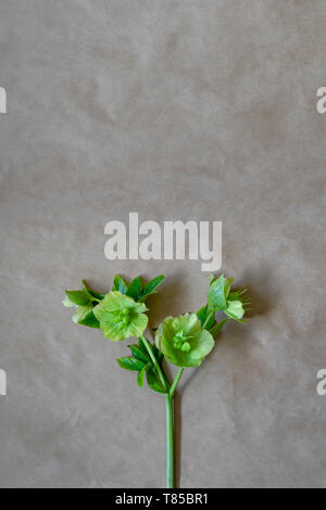 One Helleborus viridis after flowering. Close up. Top view. With copy space for text. The flower is called a  winter rose, Christmas or Lenten rose - Stock Photo