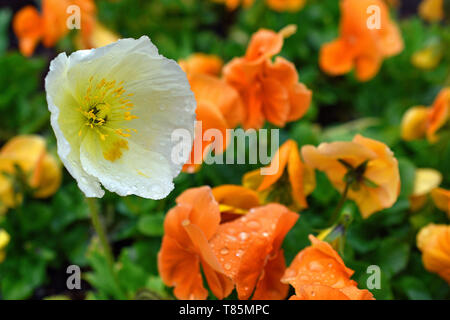 Garden Poppies after a short spring rain. Photographed at the Botanical Gardens in Albuquerque, New Mexico. - Stock Photo