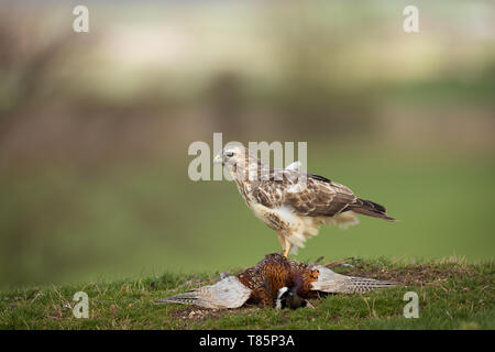 Buzzard on a grass covered hill top with a pheasant - Stock Photo