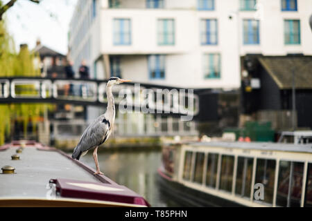 Heron or ardea cinerea on the roof of a boat in Little Venice, Camden town, London, UK - Stock Photo