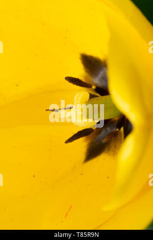 Tulips (lat.Tulipa) - Stock Photo