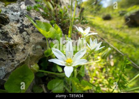 Drooping star of Bethlehem flower - Stock Photo