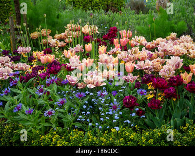 Chenies Manor Gardens in early May featuring La Belle Epoque tulips mass planted with Antraciet tulips and foliage. - Stock Photo