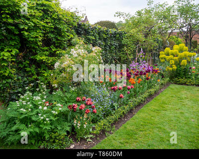 Chenies Manor Gardens lawn and plant border in early May. Choisya and varieties of tulip by the akebia and ivy trellis. - Stock Photo