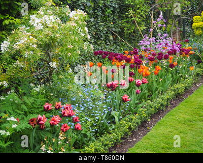 Chenies Manor Gardens in early May detail of Tulip border with vibrant colours of orange, purple and maroon; including Request,Black Jewel and Slawa. - Stock Photo