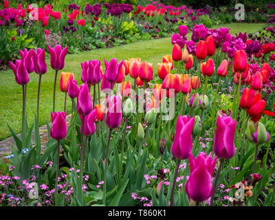 Chenies Manor Gardens in early May packed with vibrant pink, purple and apricot coloured tulips; a well tended beautiful garden in Buckinghamshire. - Stock Photo