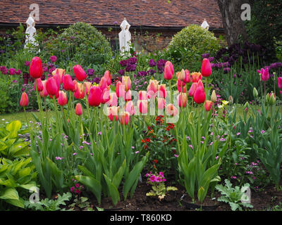 Chenies Manor Gardens in early May by the Tea room seen from the Sunken Garden in the tulip season; garden parasols at the ready; Lambada tulips too. - Stock Photo