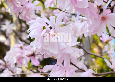 Magnolia in full bloom - Stock Photo