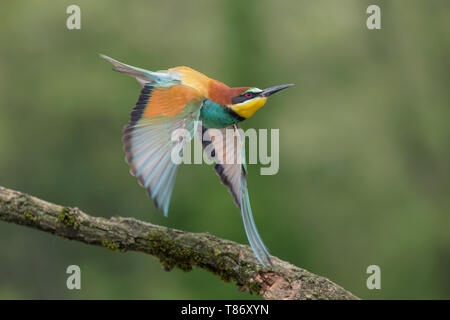 Unforgettable shot, European bee eater in flight (Merops apiaster) - Stock Photo