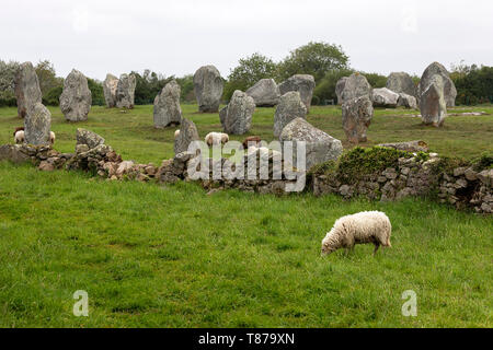 Sheep grazing at the Carnac alignments of menhirs. Lines of standing stones, granite. Brittany France Europe - Stock Photo