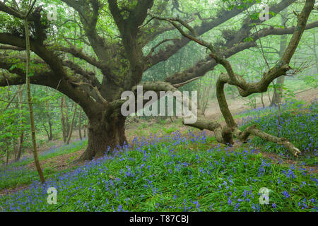 Bluebells in a misty West Sussex woodland.