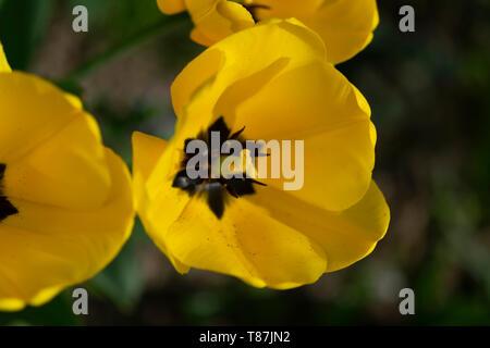 Tulips (lat.Tulipa) - Stock Photo