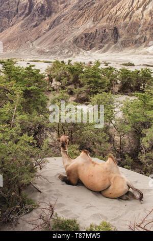 Domestic camel in Nubra valley in Ladakh - Stock Photo