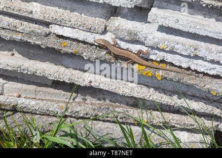 Mauereidechse, Mauer-Eidechse, Podarcis muralis, Lacerta muralis, common wall lizard, wall lizard, European wall lizard, Le Lézard des murailles, Öste - Stock Photo