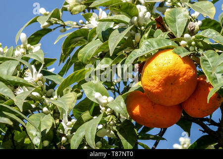 Orange fruits with blossoms on tree twigs, Valencia Region Spain - Stock Photo