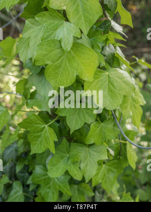 Climbing ivy / Common Ivy - Hedera helix - growing up the side of a concrete fence pole. - Stock Photo