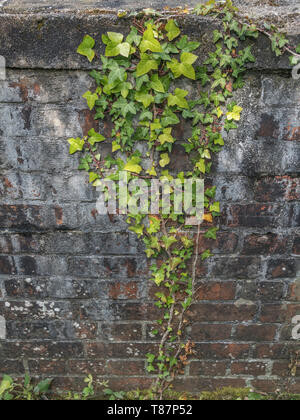 Climbing ivy / Common Ivy - Hedera helix - growing up the side of a brick wall. - Stock Photo