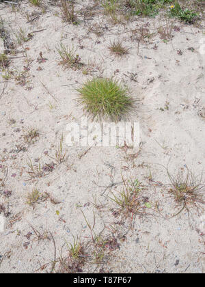 Tuft of rather poor grass growing in a sand pit, surrounded by a few other small weeds. Perhaps metaphor for 'Surrounded'. - Stock Photo