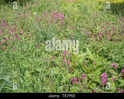 Mass of Red Campion / Silene dioica with Buttercups / Ranunculus repens, plus Docks. - Stock Photo