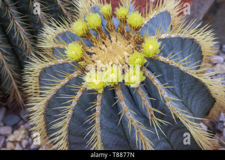Detail of big cactus - ferocactus glaucescens blue barrel with yellow flowers in botanical garden - Stock Photo