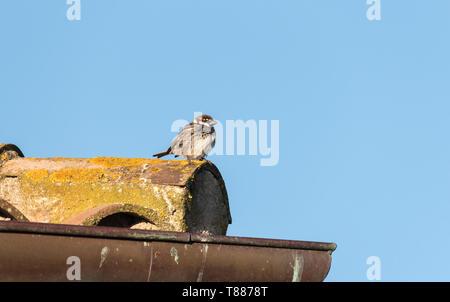 Spanish Sparrow (Passer hispaniolensis) - Stock Photo