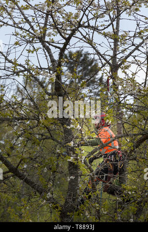 Male arborist aka tree surgeon in high visibility clothing and hardhat helmet high up in tree tops using chainsaw to prune or cut down tree - Stock Photo