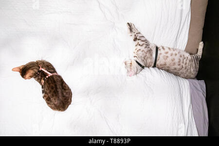 High up from above view of male and female Bengal cats, both wearing harnessess, lying on bed resting or sleeping - Stock Photo