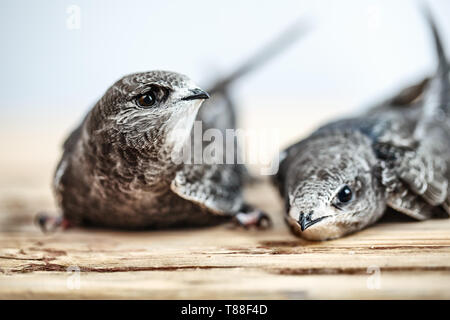 Hand Raised Young Swifts - Stock Photo