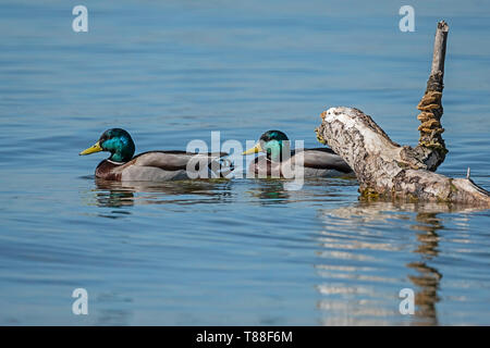 two male mallards swimming behind old rotten tree trunk lake Ammersee - Stock Photo