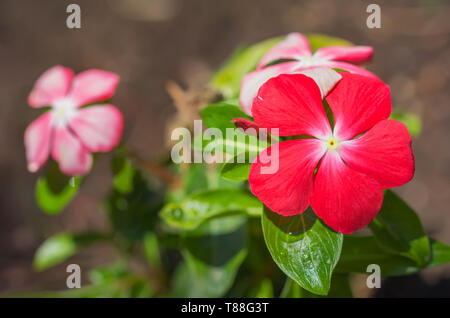 Madagascar or Periwinkle or Vinca flowers. - Stock Photo