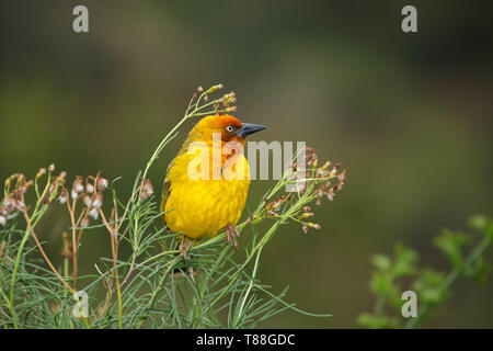 Male Cape weaver (Ploceus capensis) perched on a plant, South Africa - Stock Photo