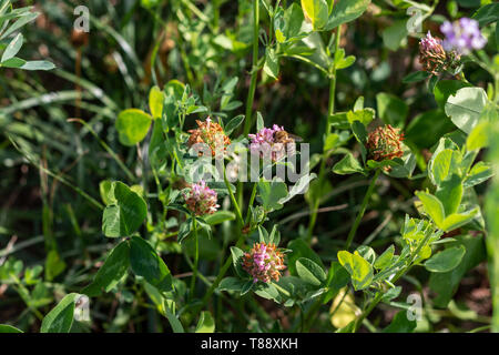 Blooming field Clover in closeup - Stock Photo