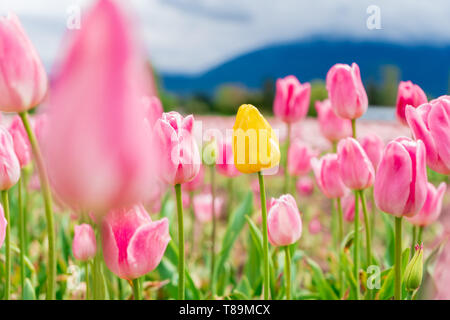 Yellow tulip in a field among pink and white tulips - one different flower. On a flower farm, tourist attraction. - Stock Photo