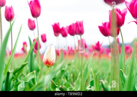 White and red french tulip in a flower field, among pink triumph tulips, with a blurry background, and focus on one different flower. - Stock Photo