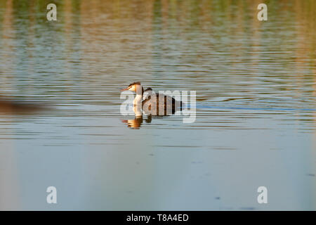 The great crested grebe swims with the chick on the back on the lake - Stock Photo
