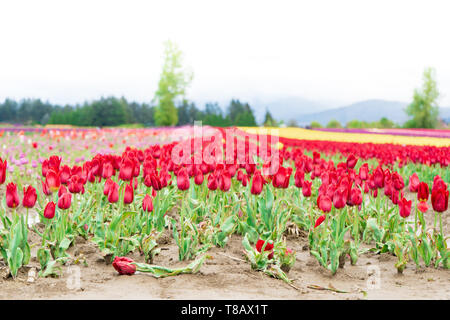 Edge of a tulip farm field, with a flower bed of red tulips, showing pink and yellow tulips in the distance. One dead tulip in the foreground. Broad d - Stock Photo