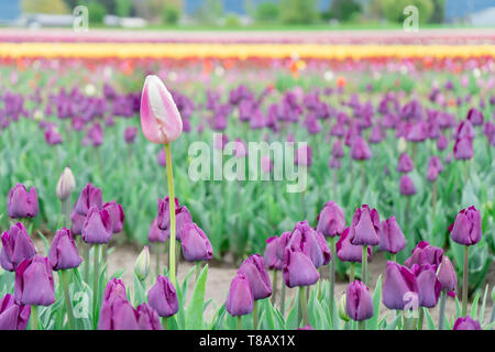 Beautiful, single, different pink and white tulip growing tall in a field of purple triumph tulips, on a flower farm. - Stock Photo
